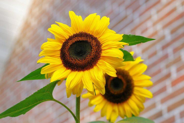 sunflower-448654_1280