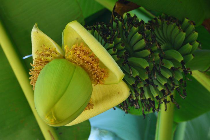 「芭蕉布 バナナ」の画像検索結果